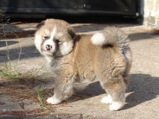 Akita Puppy Pictures