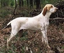 Ariege Pointer Pictures