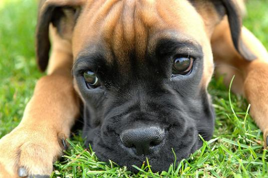 Boxer Puppy Pictures #1