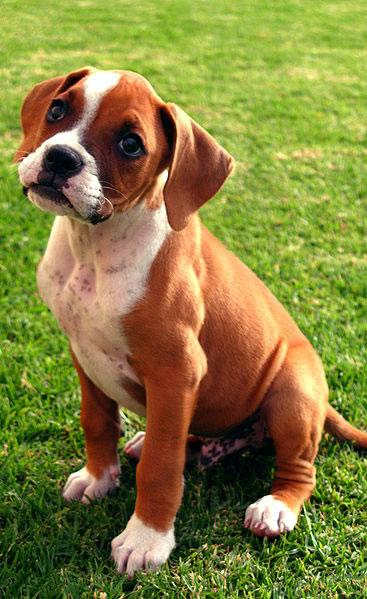 Boxer Puppy Pictures