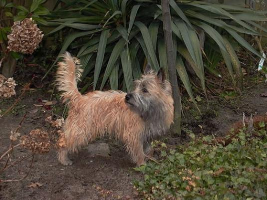 Cairn Terrier Pictures