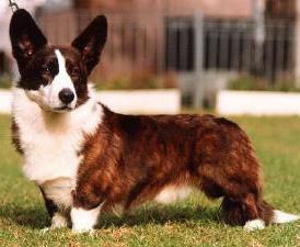Cardigan Welsh Corgi Pictures
