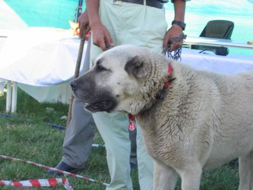 Kangal Pictures 1