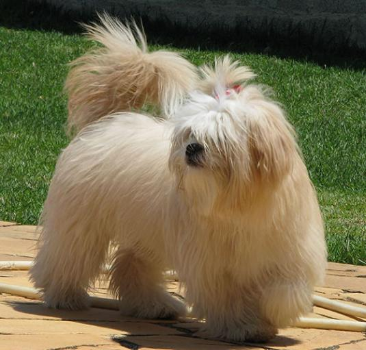 Lhasa Apso Pictures