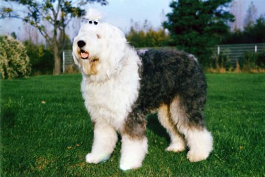 Old English Sheepdog Pictures