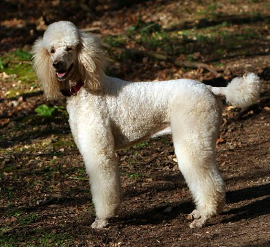 Poodle Pictures