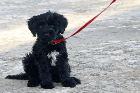 Cute Puppies Black Portuguese Water Dog