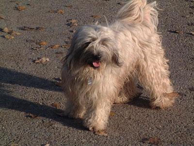 Tibetan Terrier Pictures
