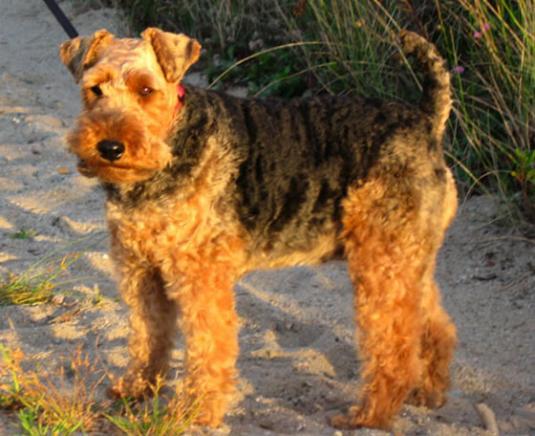 Welsh Terrier Pictures