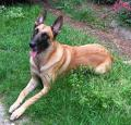 Belgian Malinois Pictures