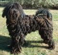 Bergamasco Pictures
