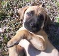 Blackmouth Cur Puppy Pictures