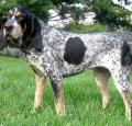 Bluetick Coonhound Pictures