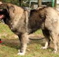 Caucasian Shepherd Dog Pictures