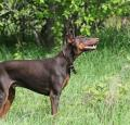 Doberman Pictures