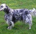 English Setter Pictures