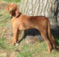 Redbone Coonhound Pictures
