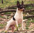 Toy Fox Terrier Pictures