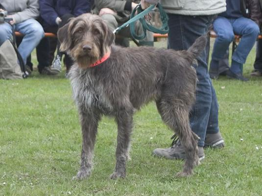 German Wirehaired Pointer Pictures 1