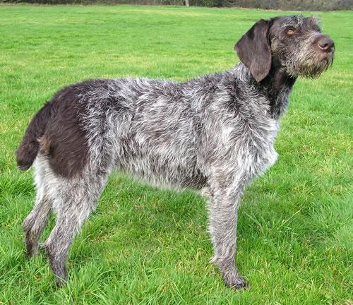 German Wirehaired Pointer Pictures
