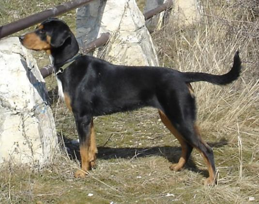 Hungarian hound Pictures