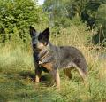 Australian Cattle Dog Pictures 3