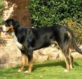 Bernese Mountain Dog Pictures 1