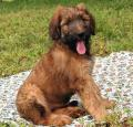 Briard Pictures 1