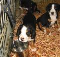 Greater Swiss Mountain Dog Pictures 2