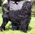 Portuguese Water Dog Pictures